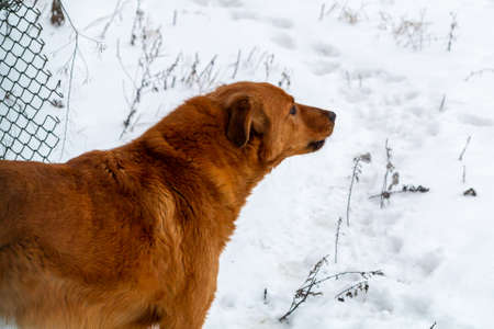 Beautiful red dog on the background of snow guards its territory Standard-Bild - 121417760