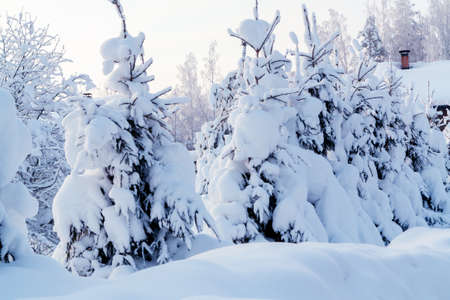 Small spruce trees in the winter forest covered with lots of snow