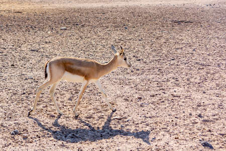 Young antelope in a safari park on the island of Sir Bani Yas, United Arab Emirates 版權商用圖片