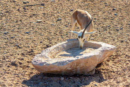 Young antelope in a safari park on the island of Sir Bani Yas, United Arab Emirates Stock fotó