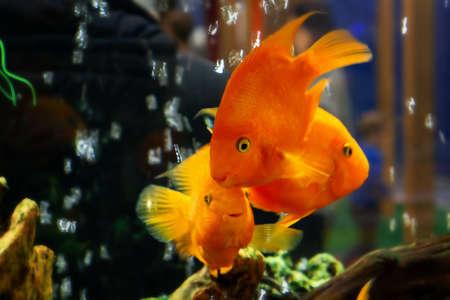 Les poissons rouges nagent dans un grand aquarium avec des plantes vertes et des bulles d'air Banque d'images