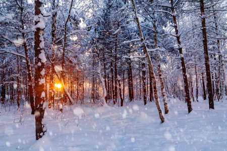 Beautiful sunset in the winter snowy forest. Suns rays make their way through the trees