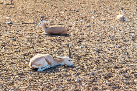 Young antelopes in a safari park on the island of Sir Bani Yas, United Arab Emirates Stock fotó