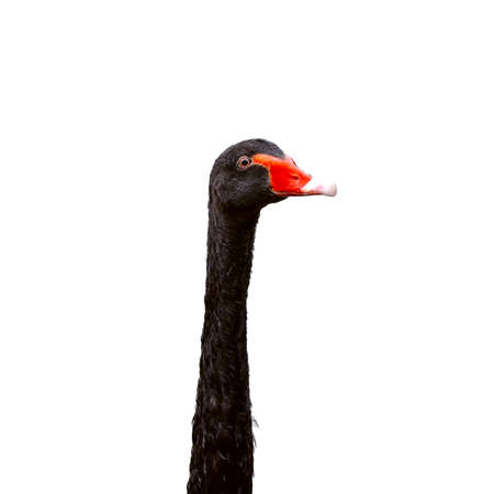Black swan head on white background, isolate