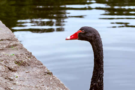 Beautiful black swan swims in a pond in a city park