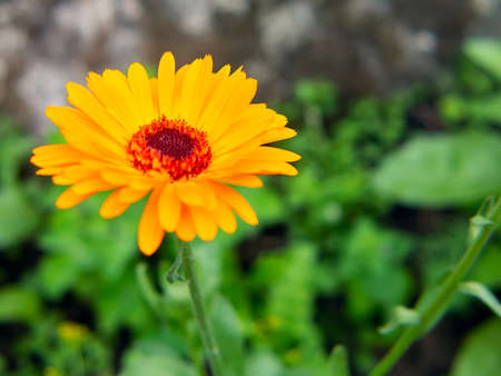 Blühende Ringelblume hautnah, Kopie spase Standard-Bild