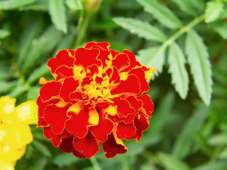 Red marigold in a flower bed in the garden, close-up