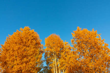 Autumn background - yellow-orange crowns of trees against a background of clean blue sky Stok Fotoğraf