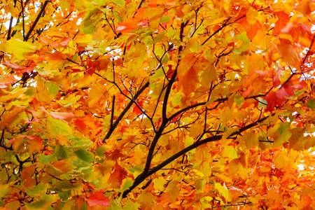 Prachtig herfstlandschap. Kroon geeloranje esdoorn zonnige dag. Achtergrond Textuur