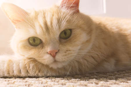 Beautiful cream cat lies on the floor, close-up