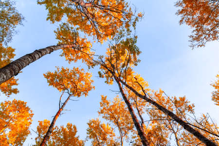 Bottom view on the tops of aspens in a colorful autumn forest against a blue sky