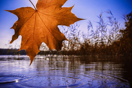 Autumn orange maple leaf over the water on the lake