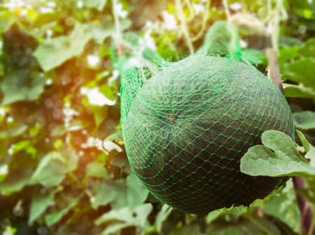 A large ripe watermelon in a grid in a greenhouse Stock Photo
