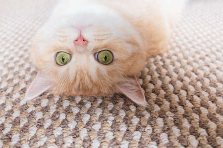 A beautiful cream tabby cat with green eyes lies on the back on a beige carpet