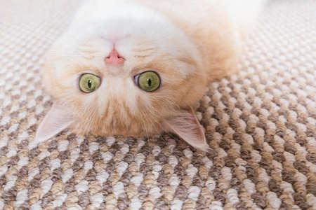 Un beau chat tigré crème aux yeux verts se trouve sur le dos sur un tapis beige Banque d'images