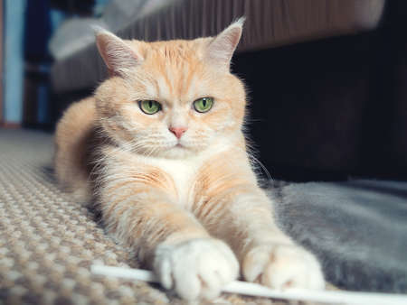 Beautiful cream tabby cat with green eyes sitting on the carpet resting from the games
