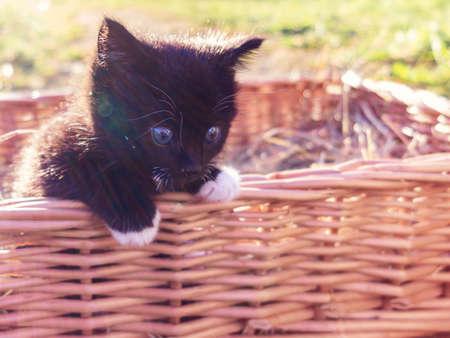 A cute little black kitten peers out of the basket Reklamní fotografie