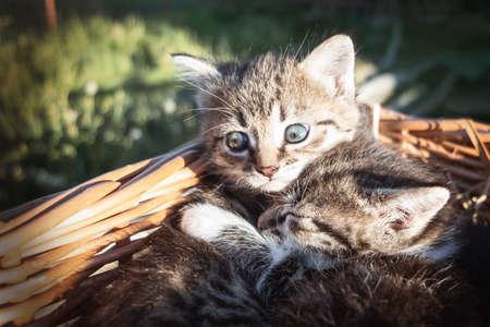 Lovely little frightened kittens peeking out of the basket, outdoors Reklamní fotografie