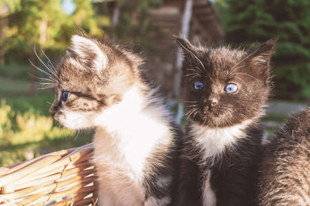 Lovely little kittens peeking out of the basket, outdoors