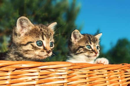 Lovely little frightened kittens peeking out of the basket, outdoors Stockfoto