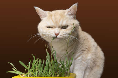 Beautiful cream tabby cat is eating grass, on a brown background. Stockfoto