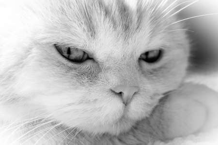 Cute cream tabby cat rests his head on paw, closeup,BW
