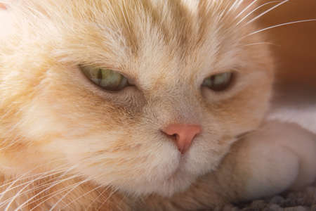 Cute cream tabby cat rests his head on paw, close up.