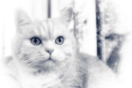 Beautiful cream tabby cat with green eyes closeup, BW.