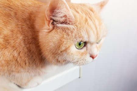 Beautiful cream tabby cat with green eyes closeup. Stockfoto