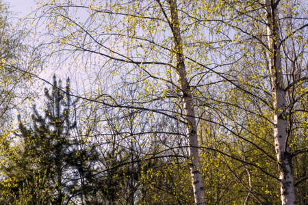 Birch on the background of the blue sky in spring.