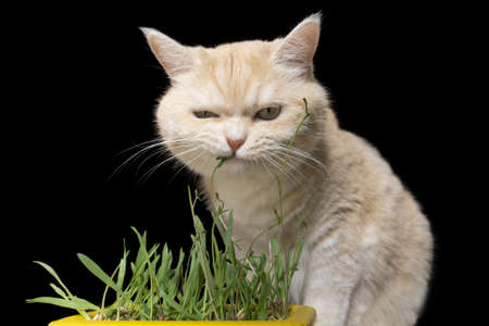 Beautiful cream tabby cat is eating grass, on a brown background Stockfoto
