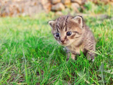 Cute little tabby kitten walking on the green grass.