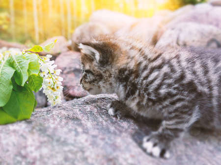 Little curious kitten climbs the stones and sniffs white flowers Stockfoto