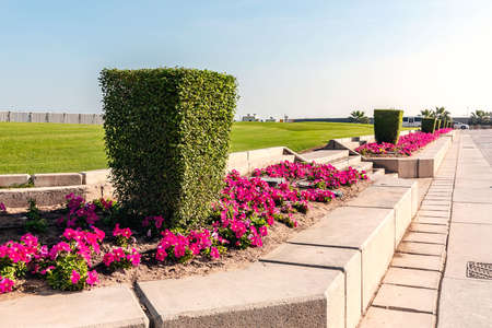 Shaped trimmed bush in the Doha, the capital of Qatar