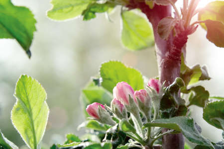 Pink buds of apple trees in springtime orchard in may day Archivio Fotografico