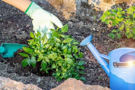 Planting plants Astilba on flower bed rockery Stock Photo