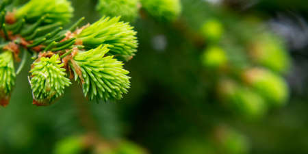 Sprig of spruce with fresh spring growth of needles - a beautiful green natural background