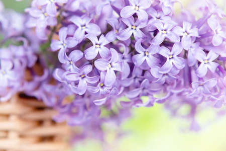 Branch of lilac in a wicker basket on a spring day in the garden close up