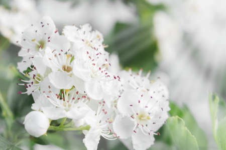 Delicate white flowers of hawthorn in the spring garden, close-up Standard-Bild