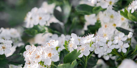 Delicate white flowers of hawthorn in the spring garden, close-up Reklamní fotografie