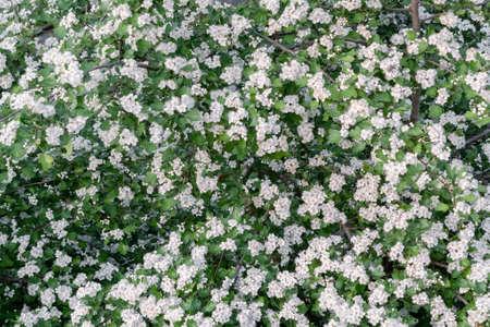 Delicate white flowers of hawthorn in the spring garden Reklamní fotografie