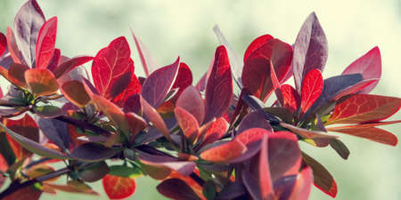 Twig Barberry Thunberg with red leaves close up, horizontal banner, natural plant background Reklamní fotografie