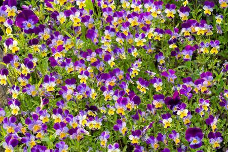 large group of perennial yellow-violet Viola cornuta, known as horned pansy or horned violet Reklamní fotografie