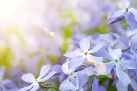 Blooming blue phlox and other flowers in the summer garden close up