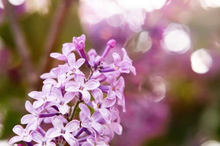 flowering branch of lilac in the spring garden close up