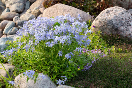 Blooming blue phlox and other flowers in a small rockeries in the summer garden