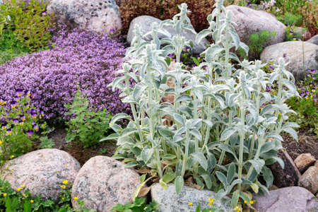 Stachys byzantina Plants Known as Lamb Ears in a Small Rockary in the Summer Garden