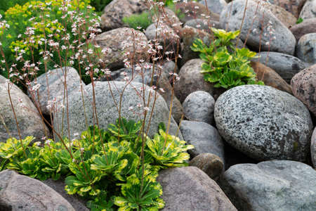 Blooming saxifrage umbrosa plants in a small rockery in the summer garden