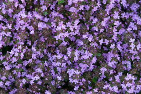 Bodendecker blühende lila Blumen Thymian Serpyllum auf einem Bett im Garten, Nahaufnahme close