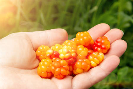 Female hand with a handful of fresh cloudberries in the forest close-up